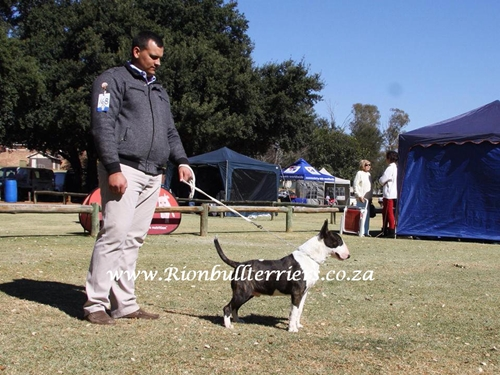 "Rion Ricochet ""Che"" Brindle Bullterrier dog show"