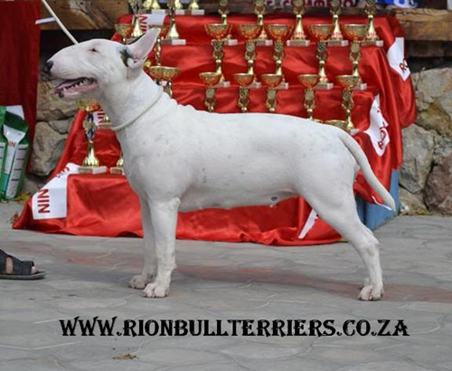Rion Double Infinity best puppy in show Rion Bullterriers wins Russia