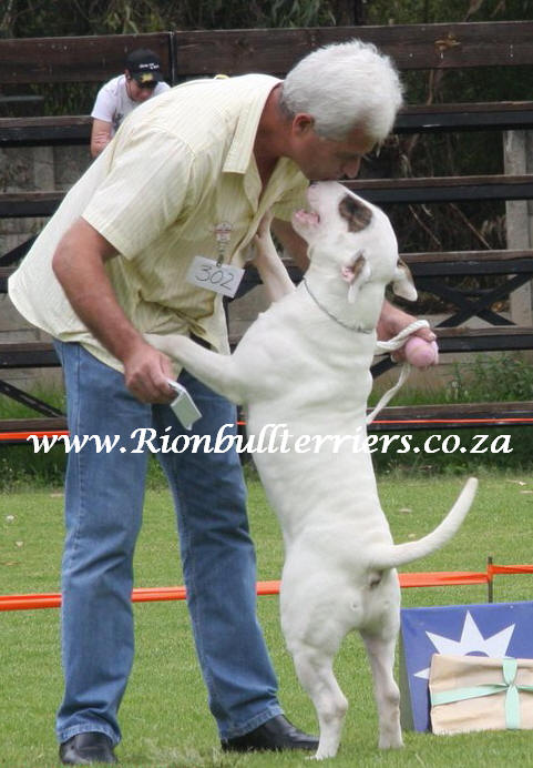 bull terrier south Africa Johannesburg