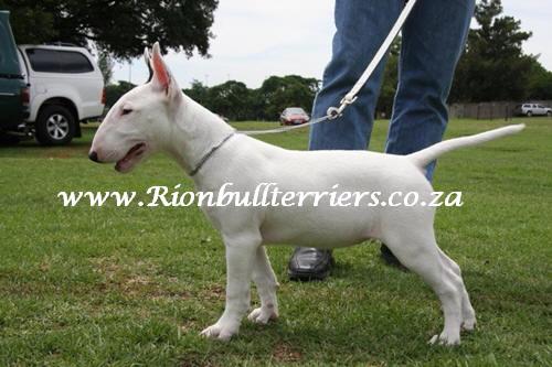 bullterrier puppy Rion bullterriers SA