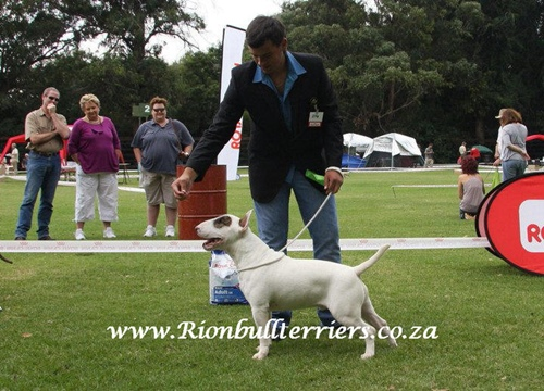 bullterrier south africa show rion bullterriers breeders
