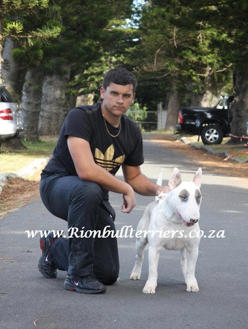 Bullterrier male Rion bullterriers chmapion bloodline south africa