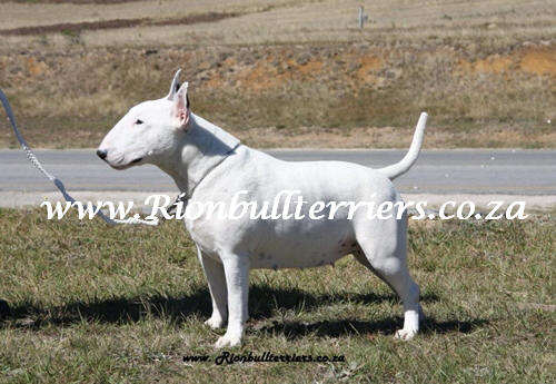 champion bullterrier bitch rion bullterriers south africa johannesburg