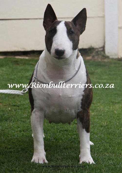 Rion Bullterriers Champion brindle bitch female top winning bloodlines