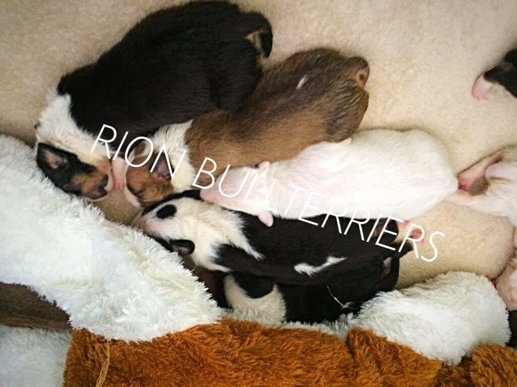 BULLTERRIER PUPPIES FOR SALE JOHANNESBURG SOUTH AFRICA - RION BULLTERRIERS