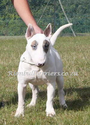 Bullterrier Male Rion bullterrier south africa Johannesburg