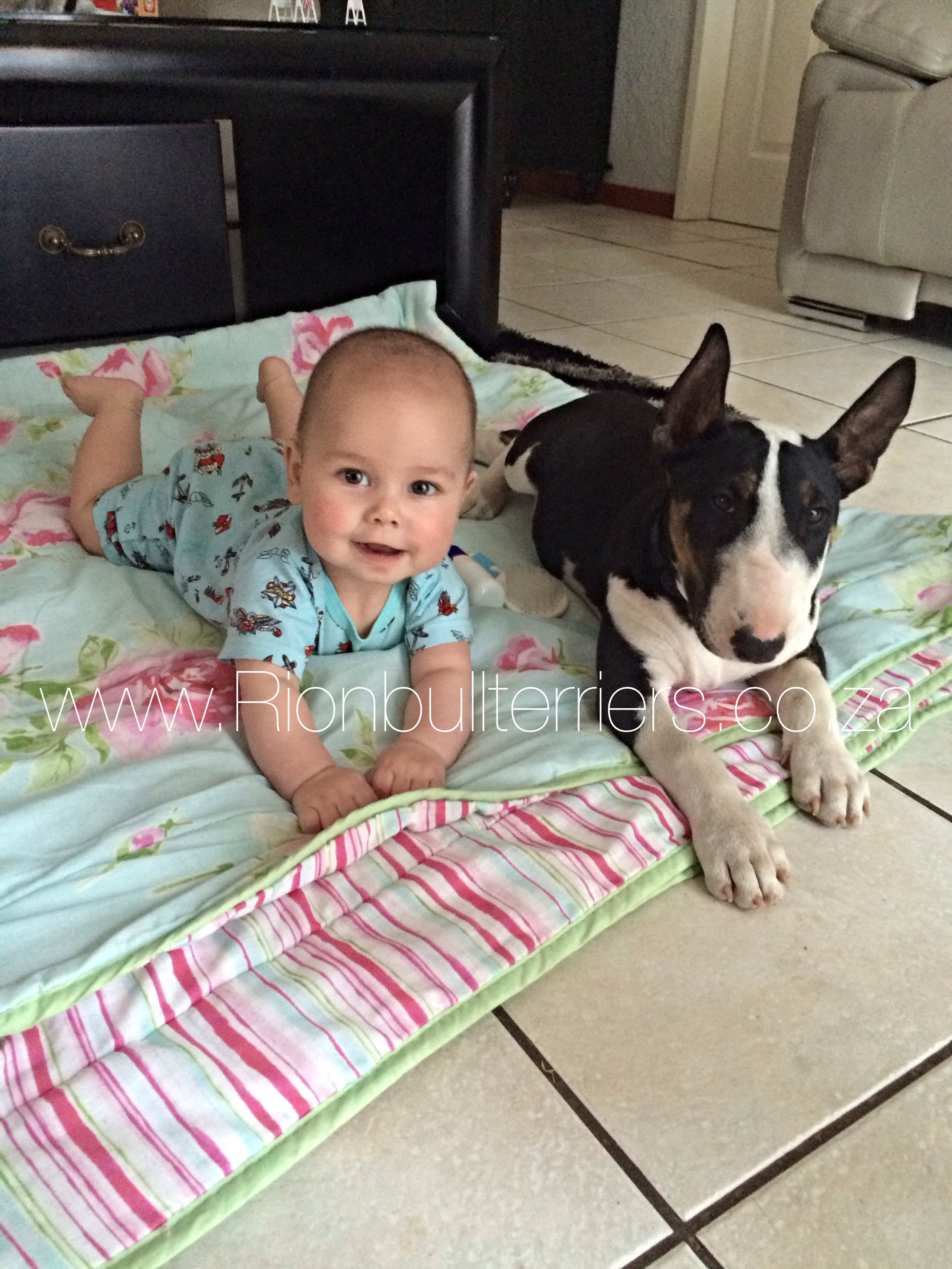 Bullterrier Puppy and baby - Rion Bullterriers South Africa