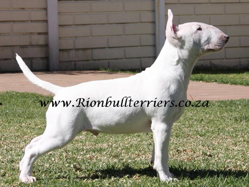 Bullterrier south africa puppy johannesburg Rion bullterriers