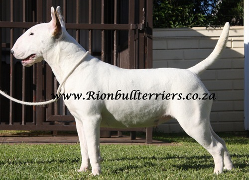 White bullterrier female bitch Rion Bullterriers