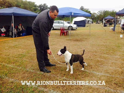 Rion Boudoir Ricochet Che Best Puppy in Show winning Bullterrier Male Brindle