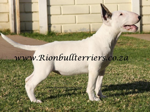 Rion Bullterriers white female bitch Top winning lines (1)