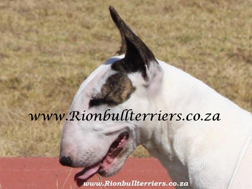 Rion Bullterriers white female bitch Top winning lines (5)