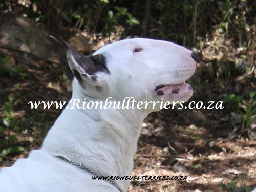 Rion Bullterriers white female bitch Top winning lines (6)