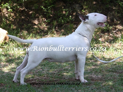 Rion Bullterriers white female bitch Top winning lines (7)