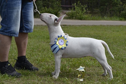 Rion Double Infinity Fifa Winning Best Puppy in Russia White Bullterrier Bitch female