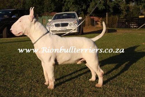 Rion bullterrier south africa Bullterrier Male Zack 4