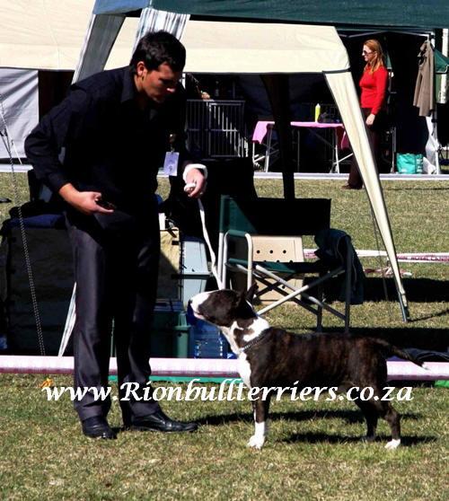 Rion bullterriers brindle bullterrier South Africa Johannesburg