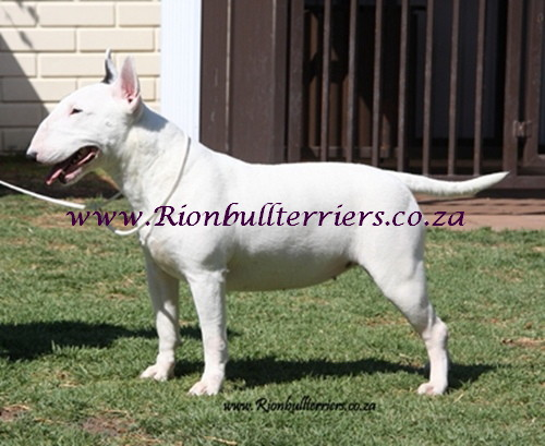 Rion bullterriers South African Bullterrier breeder Bitch Female Top winning bloodlines