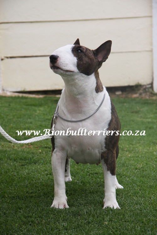 Rion Bullterriers Johannesburg South Africa Top winning bullterriers Brindle Bitch