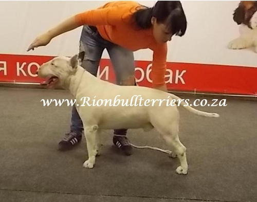 Rion Bullterriers bull terrier breeder South Africa Russian champion Rion Double Stich