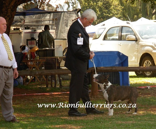 brindle bullterrier south africa Rion bullterriers south africa breeder