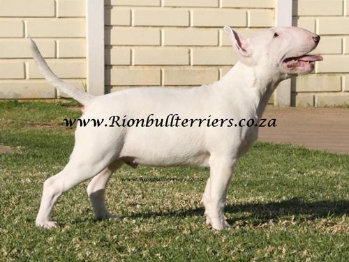 Rion bullterriers south africa breeder bullterrier