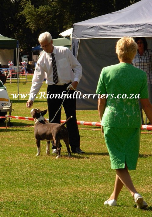 Bullterrier top winning bloodline brindle bullterrier Rion bullterrier