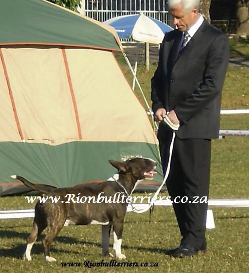 Rion bullterrier brindle bullterrier male champion bloodline