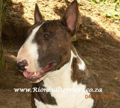 Rion bullterriers Champion brindle bullterrier head Bullterrier Johannesburg