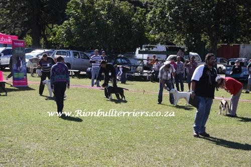 Rion bullterriers Male brindle bullterrier best in show breed show johannesburg