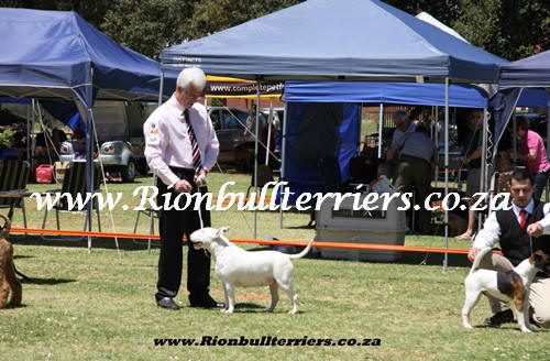 Rion bullterriers South Africa Champion Bitch Jane Rion Void Gentleman (1)