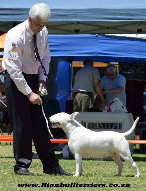 Rion bullterriers South Africa Champion Bitch Jane Rion Void Gentleman (7)