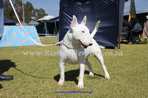 Rion bullterriers South Africa Champion Bitch Jane Rion Void Gentleman