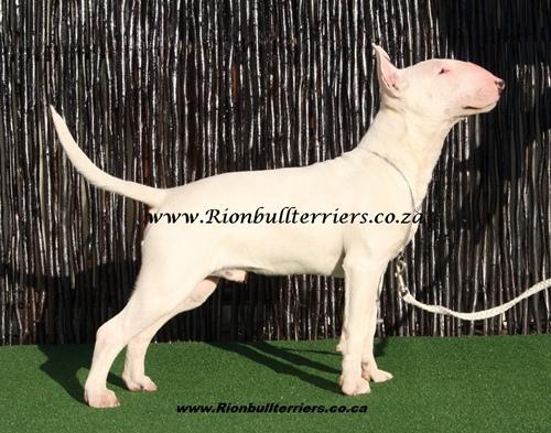 Rion bullterrier breeder top winning bloodline South Africa