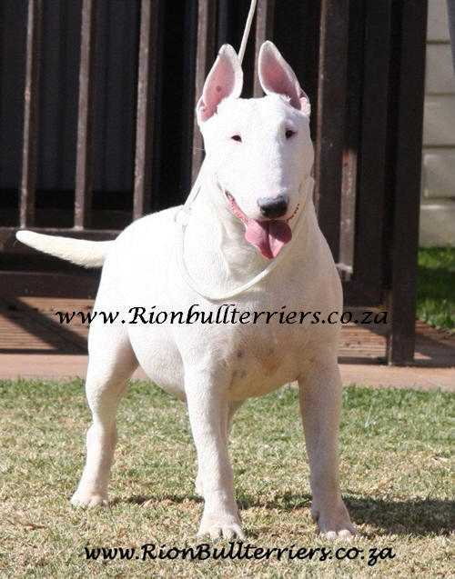 Rion Bullterriers