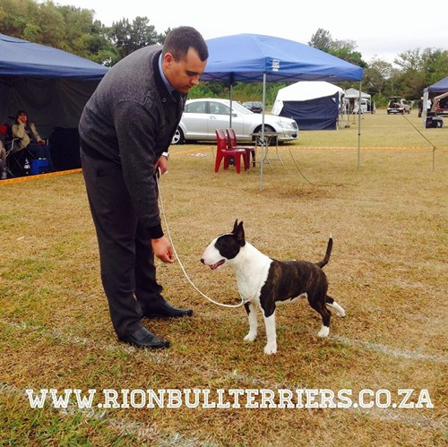 RIon Bullterriers South African Bull terrier breeder Johannesburg Brindle Bullterrier Male