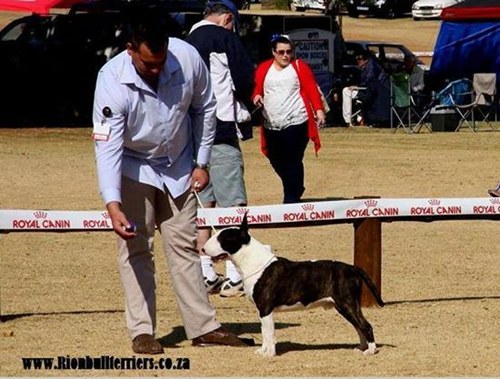 Rion Bullterriers Top winning bullterriers brindle bullterrier male