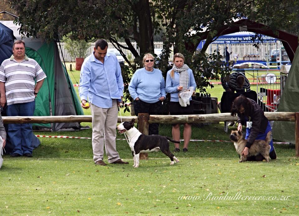Rion Boudoir Ricochet CHE winning CACIB and BEST OF BREED at Western Gauteng FCI International Show Bullterrier