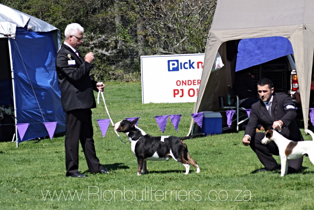 Rion Bullterrier Breeder Kennel Black Tricolour Male Ch.Domino Devil of Rion CC Best of Breed Group 2