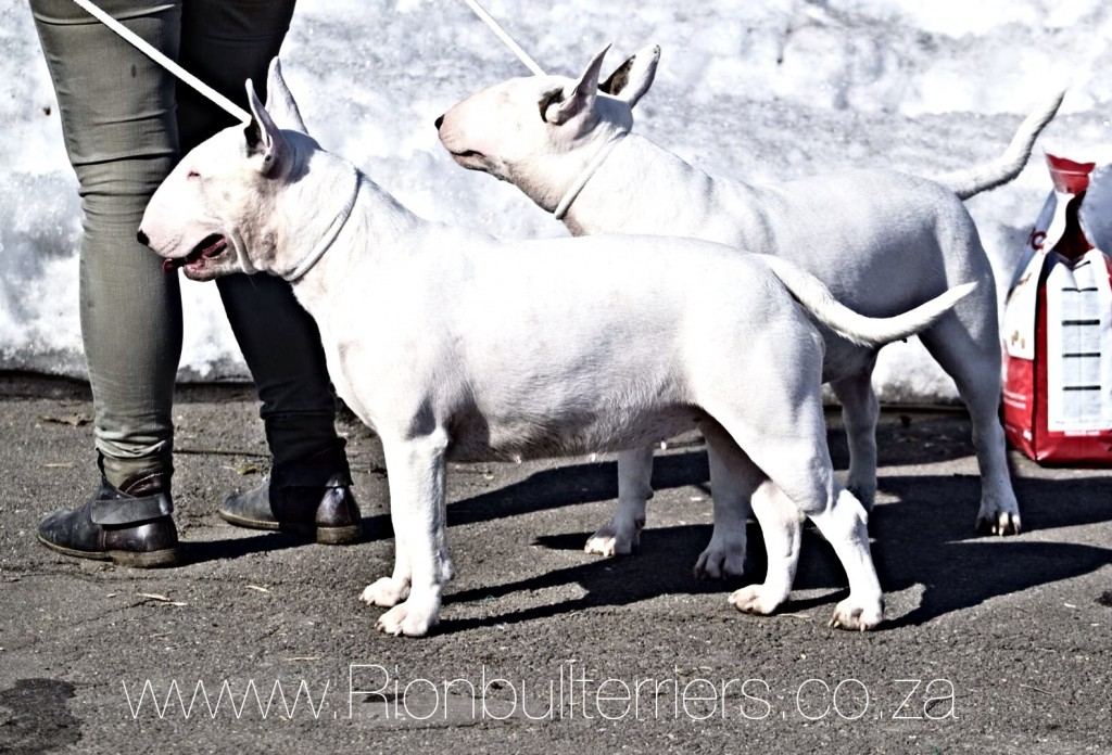 Rion Double Destiny - Best In Show Winning Bullterrier White Bitch