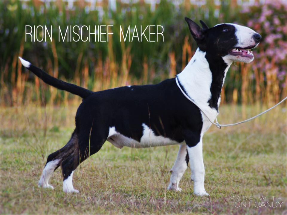 Rion Mischief Maker - Black Male Bullterrier