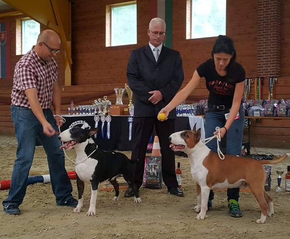 Slovakia Bullterrier Club - Black and White Male - Red and White Male