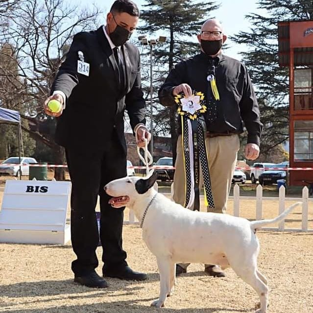 CH JIMNAH PABLO OF RUSSEL OF RION - PABLO - white bullterrier male - champion
